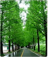 杉木林荫路
