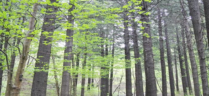 德裕山自然休养林云杉树林