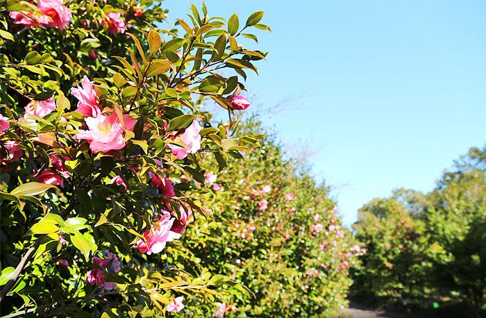 从济州岛到舒川, 沿著茶花路线展开春季赏花旅行1
