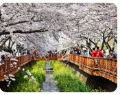 Hadong's Ssanggyesa Temple Simni Cherry Blossom Path