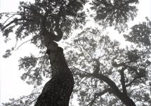 Daewangam Pine Forest