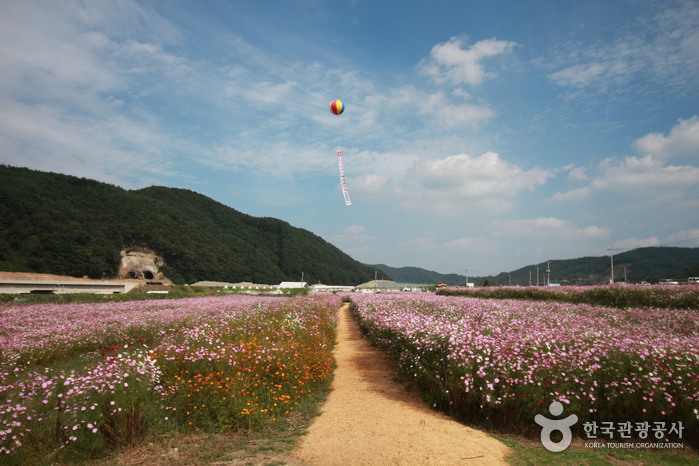 Bukcheon Cosmos and Buckwheat Festival (북천코스모스 • 메밀축제)