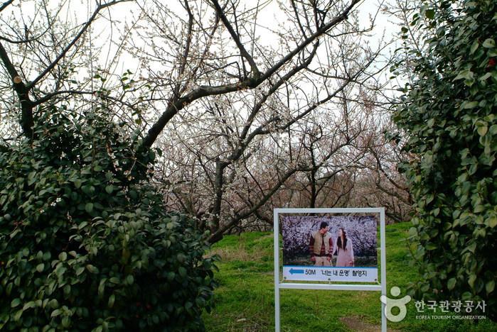 Bohae Plum Farm (보해매실농원)