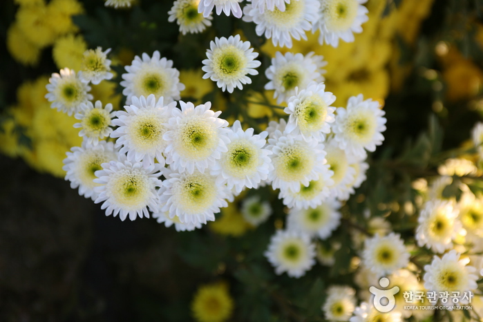Seosan Chrysanthemum...