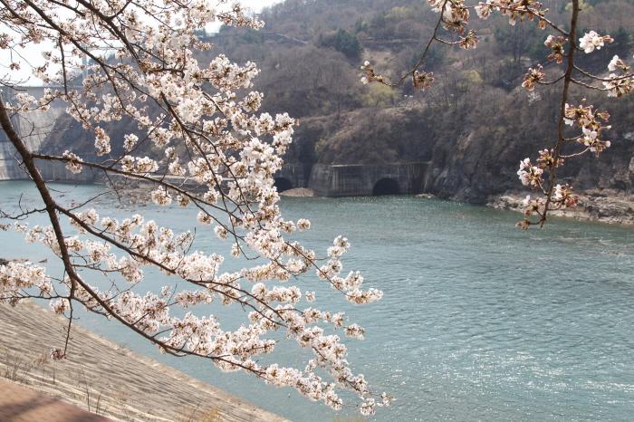 충주호 벚꽃 터널과 수안보 벚꽃길