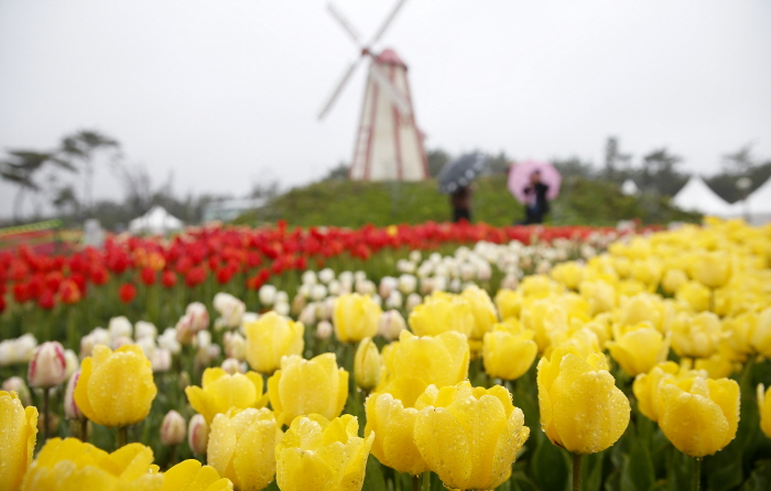Taean Tulip Festival (태안 튤립 축제)