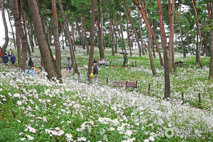 정읍 구절초테마공원