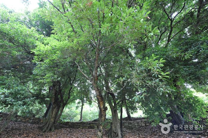 함평 기각리 붉가시나무 자생북한지