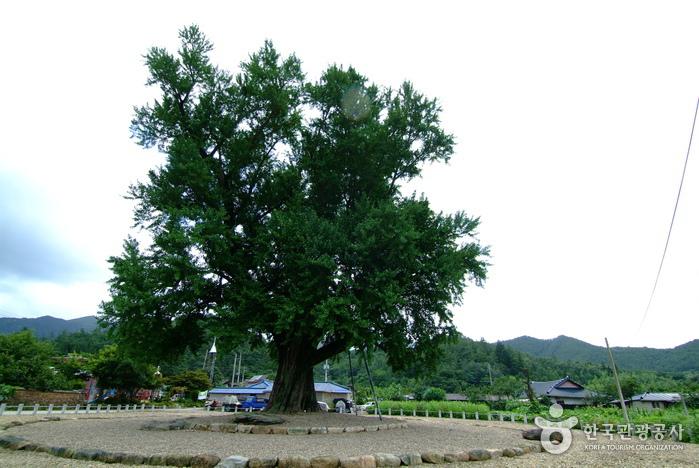 하멜 체류지와 강진 성동리 은행나무