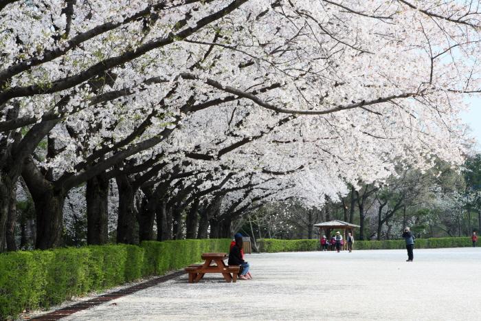 서울대공원 벚꽃축제 2017