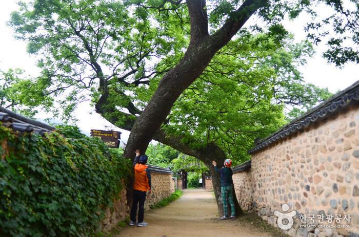 남사예담촌 부부 회화나무