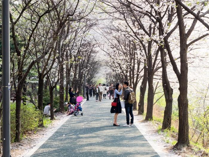 良才川桜灯祭り(양재천 벚꽃 등(燈) 축제)