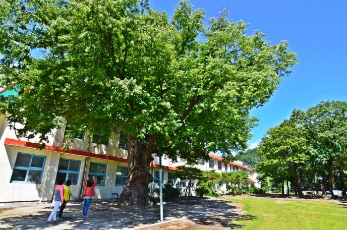 연풍초등학교 교내 느티나무