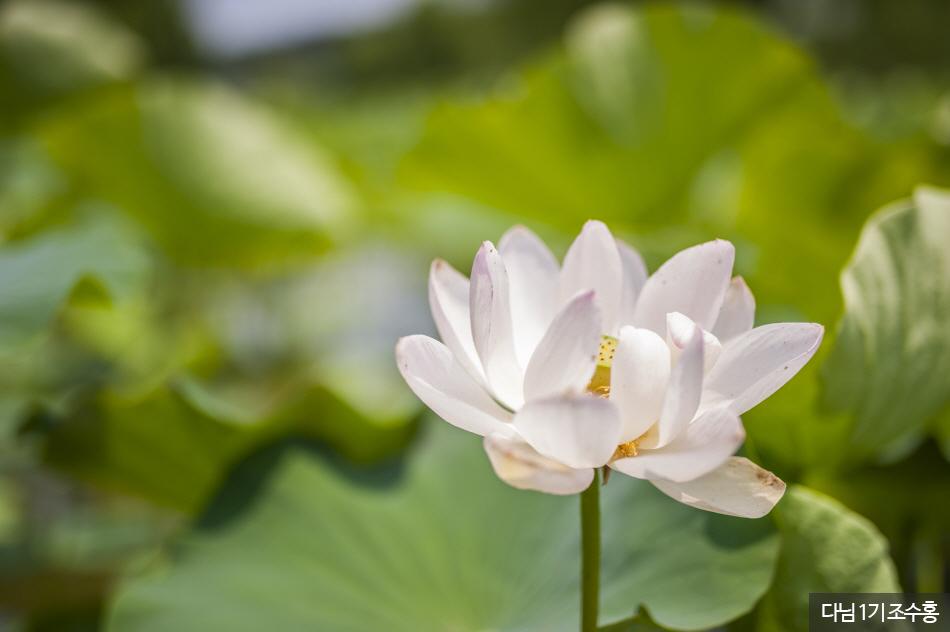 궁남지에 핀 연꽃
