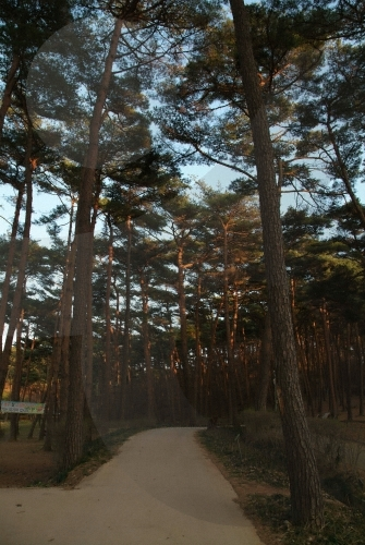 Anmyeondo Recreational Forest (안면도자연휴양림)