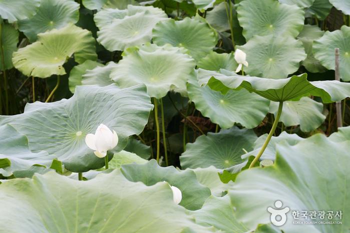 Hoesan White Lotus Pond in Muan (무안회산백련지)