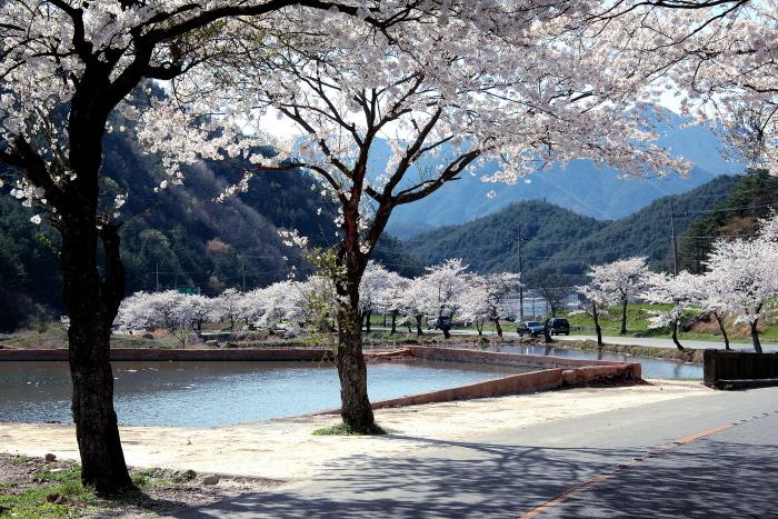 흰 구름 깔아놓은 듯 황홀한 벚꽃의 자태, 순천 송광사