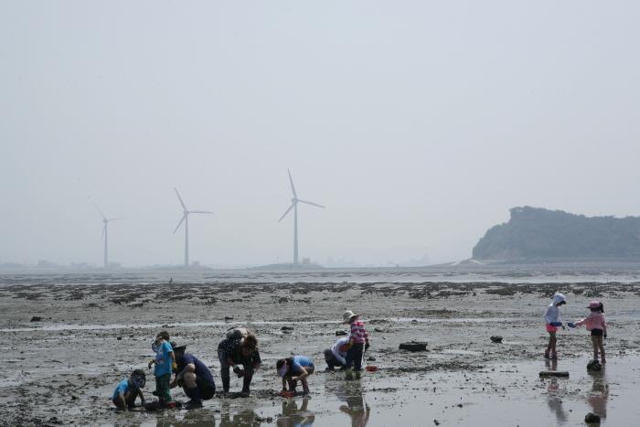 풍력발전기 도는 갯벌에서 '바지락 한 움큼', 안산 탄도
