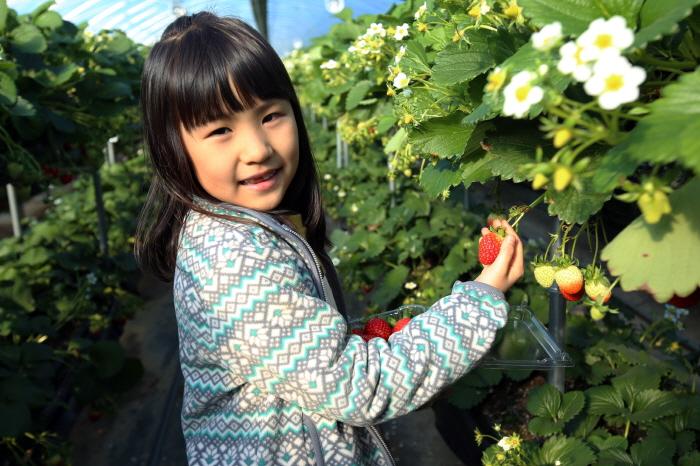 상큼하고 달콤한 봄을 미리 맛보는 딸기 따기 체험