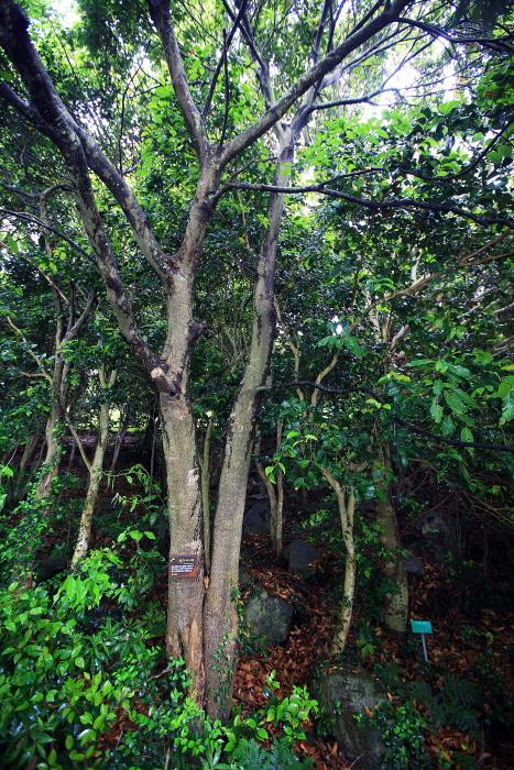 완도수목원 수종 가운데 60%를 차지하는 붉가시나무
