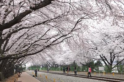 Gyeonghwa Station Cherry Blossom Road (경화역 벚꽃길)