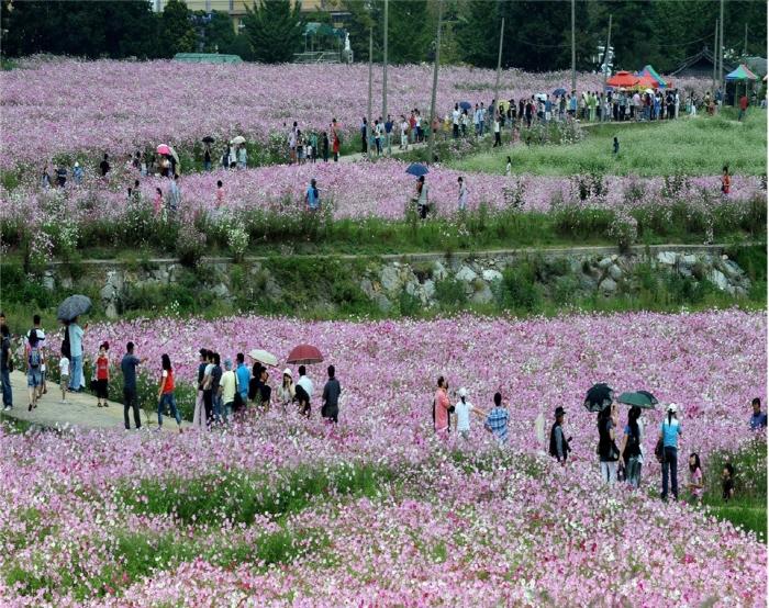 河東北川コスモス・そばの花祭り(하동북천 코스모스 메밀꽃 축제)