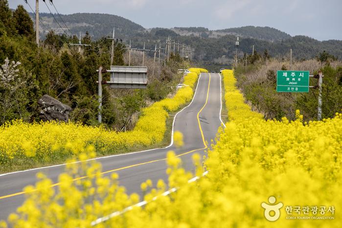 서귀포 가시리마을 (녹산로 유채꽃도로)