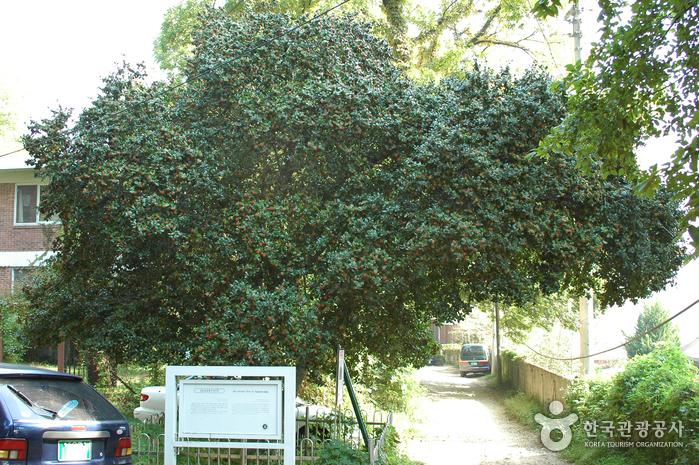 양림동 호랑가시나무