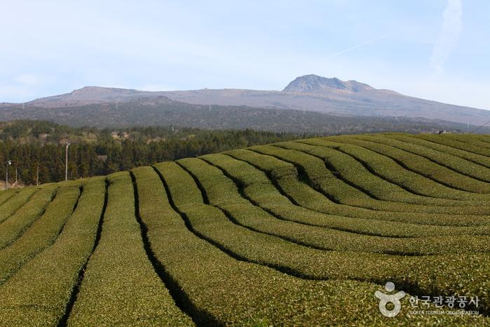 Чайная плантация Тосун-давон (도순다원)2
