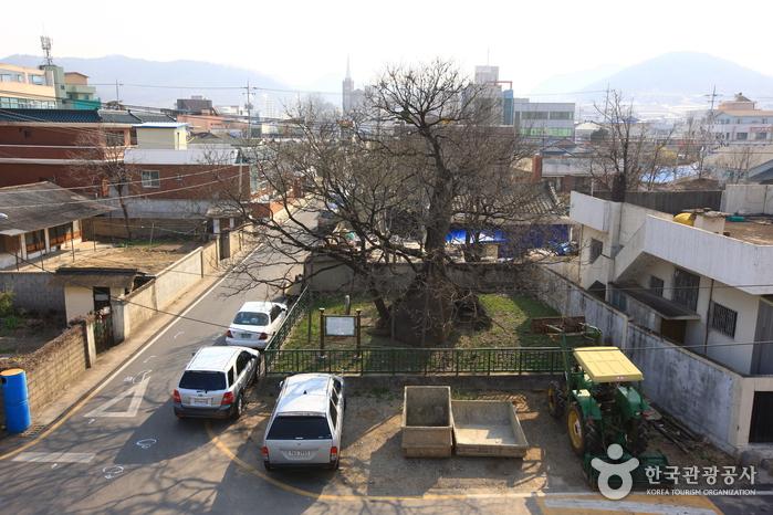 의성읍 도서동의 회나무