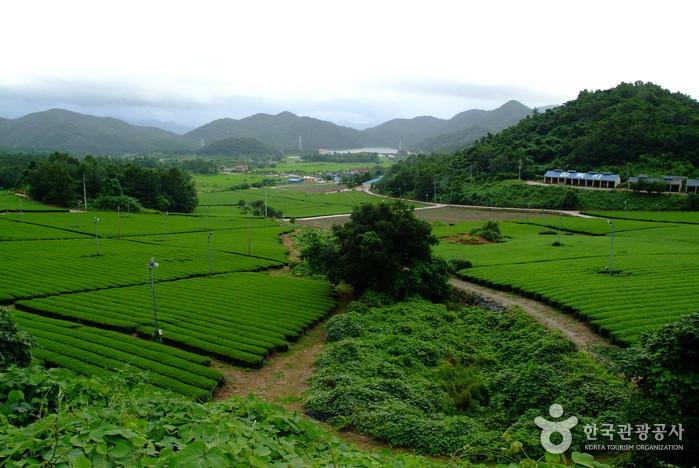 Gangjin Dawon (전남 강진다원)
