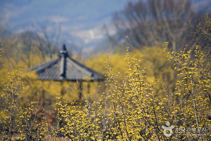 샛노란 봄 풍경을 만나다, 전남 구례산수유꽃축제
