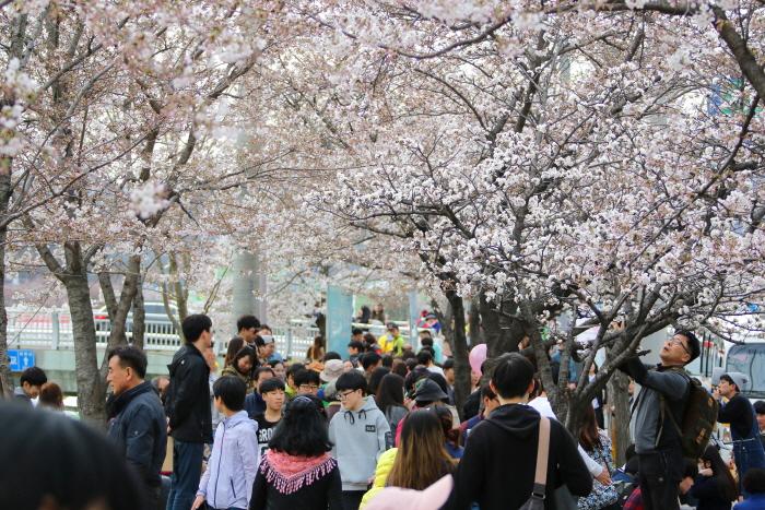 安養忠勲桜祭り(안양충훈 벚꽃축제)