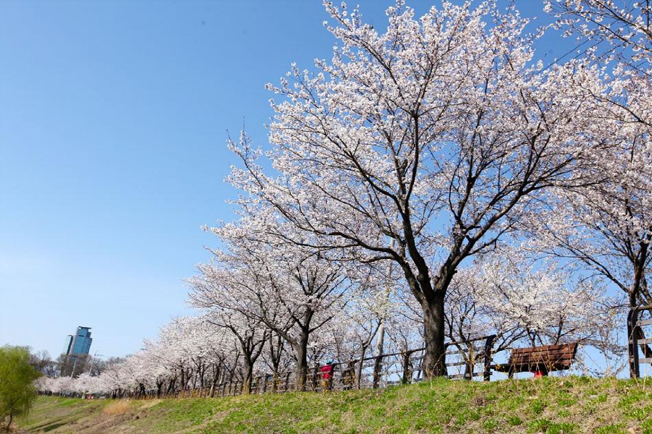 벚꽃이 핀 양평물소리길(제공-양평 물소리길)