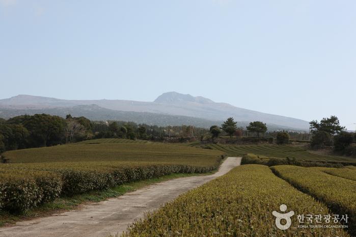 Чайная плантация Тосун-давон (도순다원)4