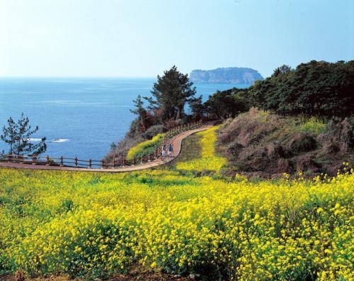 Jeju Canola Flower F...