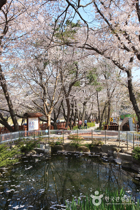 Yeojwacheon Stream (Cherry Blossom Road) (여좌천-벚꽃명소)