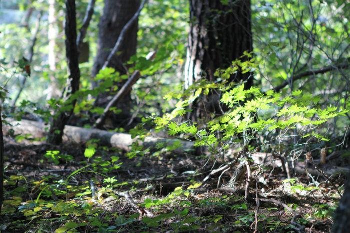 수목이 울창한 대관령자연휴양림 등산길. 솔 향기 가득한 등산길은 사색에 잠길 수 있을 정도로 고요하다.