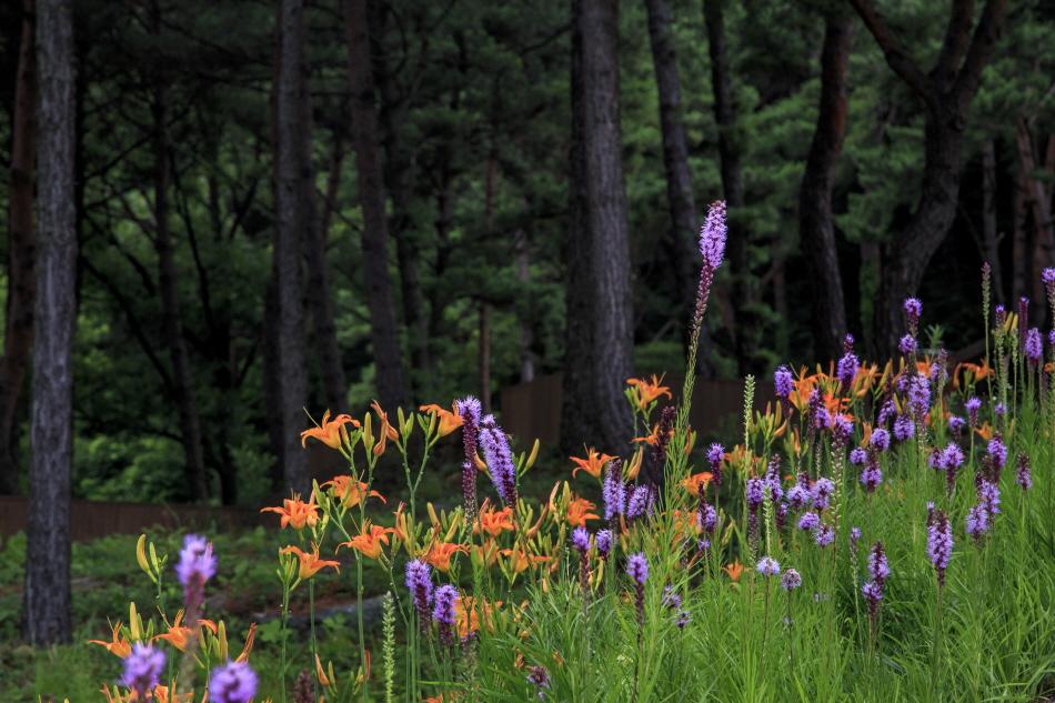 주홍빛 원추리와 보랏빛 리아트리스가 수놓은 야생화테마랜드의 소나무 숲길