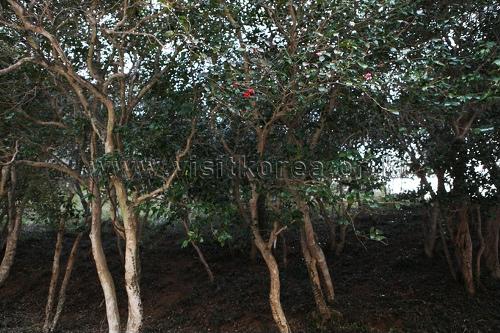 광양 옥룡사 동백나무 숲