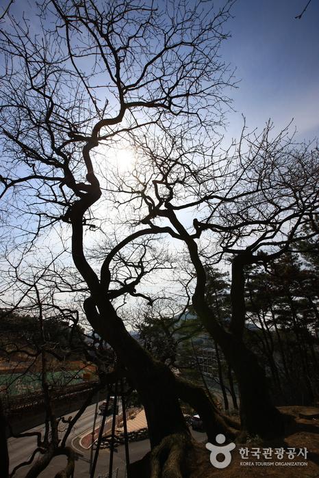 창원 신방리 음나무 군