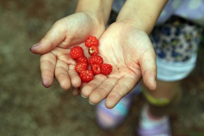 빨간 보석같은 산딸기