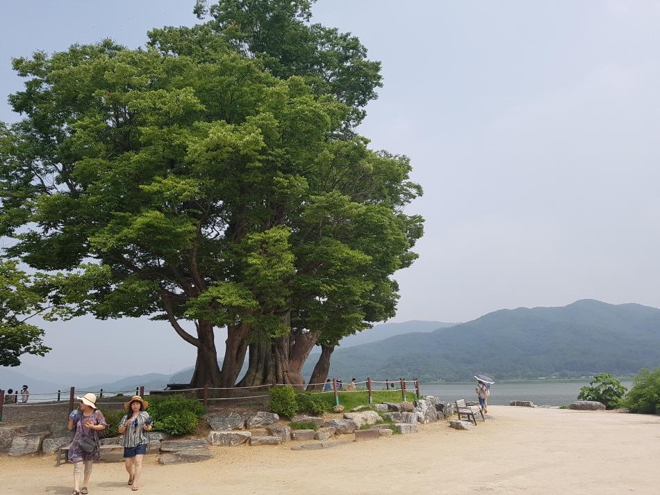 400년된 느티나무