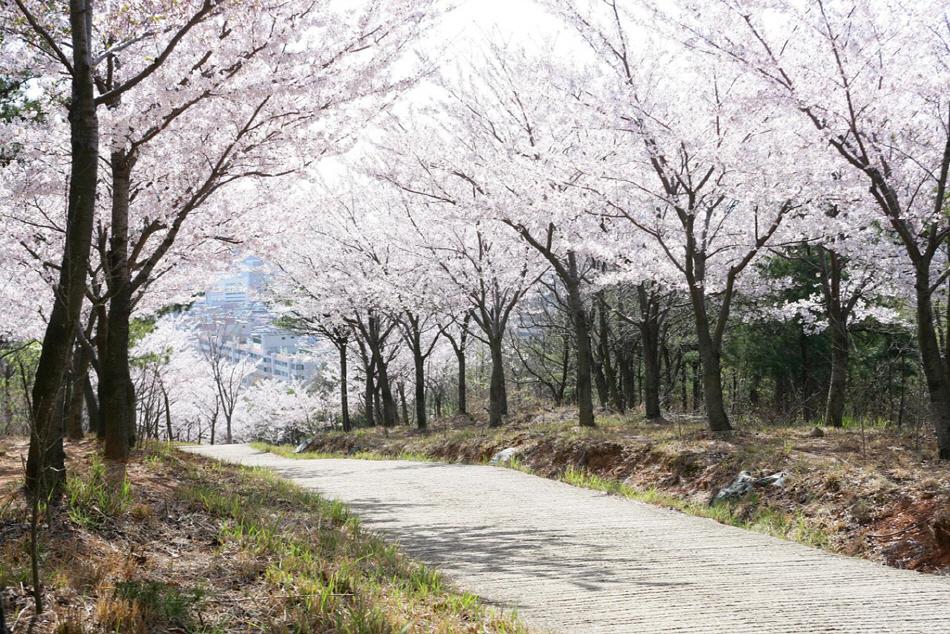 벚나무가 양쪽으로 피어있는 길
