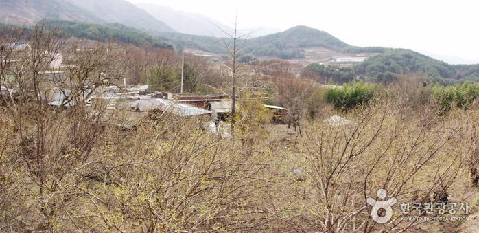 Деревня Сансую в Куре (구례 산수유마을)