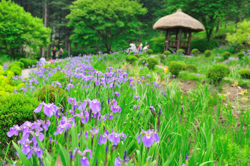 Iris Festival of The Garden of Morning Calm (아침고요수목원 아이리스축제)
