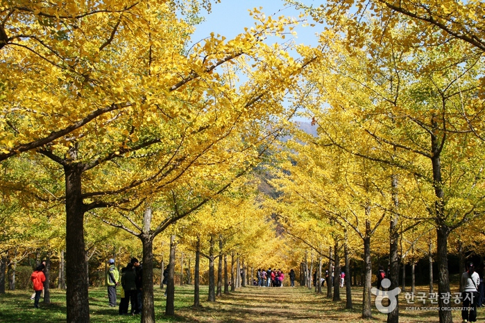 Hongcheon Ginkgo Forest (홍천 은행나무숲)