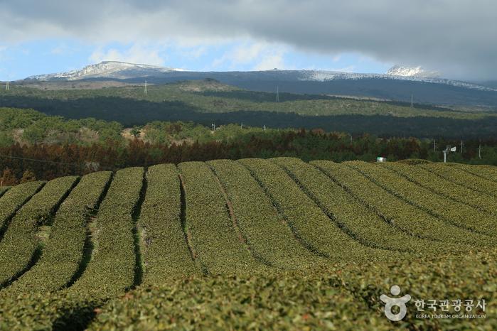 Green tea field near Hallasan Mountain