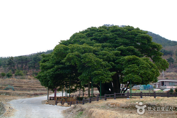 남해 창선도 왕후박나무