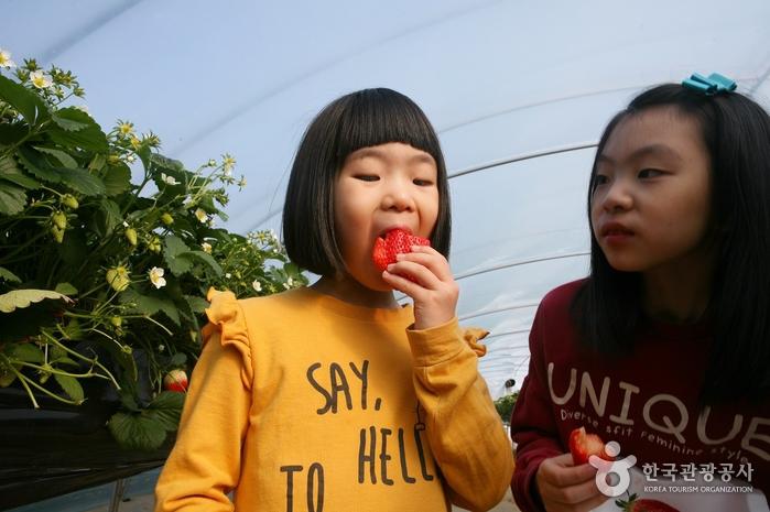 김재한 농장은 무농약으로 재배하기 때문에 딸기를 수확한 후 바로 먹을 수 있다.